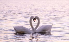 Free Couple Of Caressing White Swans On The Lake Stock Images - 147851084
