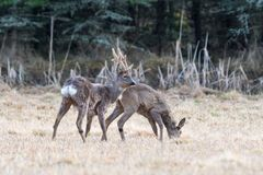 Free Couple Of European Roe Deers Stock Images - 103319684