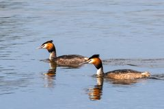 Free Couple Of Great Crested Grebe Swimming Royalty Free Stock Images - 133346059