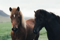 Couple Of Icelandic Horses Royalty Free Stock Photos
