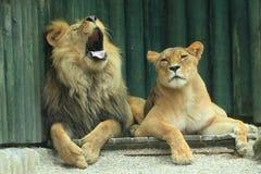 Couple Of Lions Stock Photo