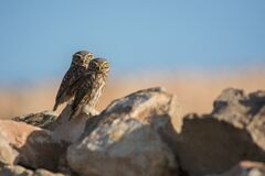 Free Couple Of Little Owls In The Rocks Stock Photography - 181239092