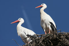 Free Couple Of Storks Royalty Free Stock Images - 3911009
