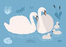 Couple Of White Swans And Brood Of Cygnets Floating Together In Pond Or Lake Among Plants. Adorable Family Of Wild Birds Stock Images