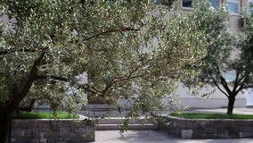 Couple of olive trees in the park stock video footage