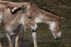 Couple of onagers Stock Photography