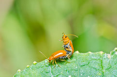 Couple orange beetle in green nature Stock Photo