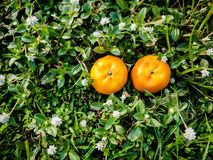 Couple Orange fruits. On grass, grass background Stock Image