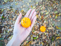 Couple Orange fruits. One on hand and another one on leaves, leaves background Royalty Free Stock Photo