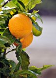 A couple of oranges. Hanging from the tree with blurred background Royalty Free Stock Image