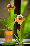 The couple of orchids in vases Royalty Free Stock Photo