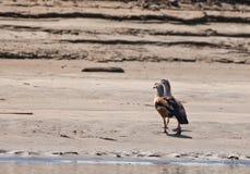 A couple of the Orinoco Goose Royalty Free Stock Photo