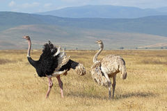 Couple of ostriches breeding. A couple of ostriches (Struthio camelus) breeding in Ngorongoro Conservation Area, Tanzania Royalty Free Stock Images