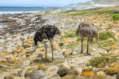 Couple of ostriches. A couple of common ostriches eat on the pebble beach of Cape of Good Hope Nature Reserve in Cape Peninsula National Park, South Africa Royalty Free Stock Photos