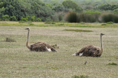 A couple of ostriches in De Hoop nature reserve Stock Photography