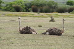 A couple of ostriches in De Hoop nature reserve Royalty Free Stock Photos
