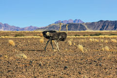 Couple of ostriches in the Namib Desert Stock Images