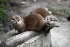 Couple of otters. And one is angry Royalty Free Stock Image