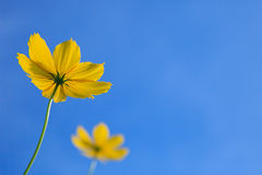 Couple oyellow flower with clear blue sky  Royalty Free Stock Photos