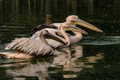 Couple of painted storks in nest royalty free stock photography