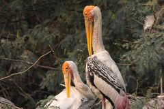 Couple of painted storks in nest royalty free stock images