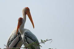 Couple of Painted Storks Royalty Free Stock Photos