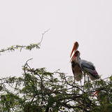Couple of Painted Storks Stock Images
