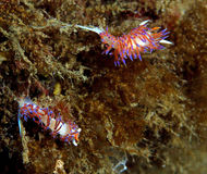 The couple. Pair of sea slugs snails during courtship cratena peregrina stock photography