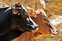 Couple of pairs of cattle stock photography