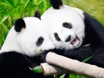 Couple of pandas. Couple of cute giant pandas eating bamboo shoots stock image