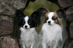 A couple of papillon Stock Photo