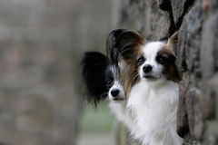 Couple of papillon dogs Royalty Free Stock Images
