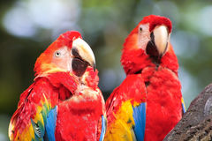 A couple of parrot Stock Images
