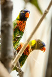 Couple parrot Stock Photography