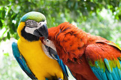 Couple parrot in love action against natural background Royalty Free Stock Images