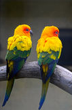 A couple of parrots Stock Photography