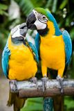 Couple of parrots. Photo of 2 parrots kissing, shallow depth of field royalty free stock photo