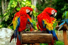 Couple of parrots. Couple of red parrots in a perch Royalty Free Stock Photography