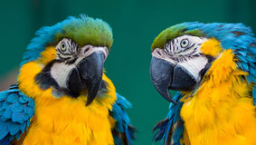 Couple of parrots Royalty Free Stock Photography
