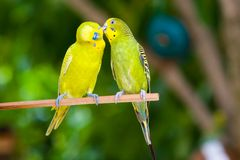 Couple of parrots on a branch Stock Photography
