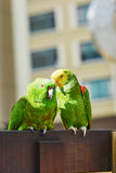 Couple of parrots on a branch royalty free stock photos