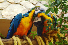 A couple of parrots. Deliver to each other pleasure Royalty Free Stock Image