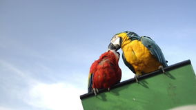Couple of parrots. Feeding themselves or kissing stock video