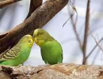 Green parrots kissing, adobe rgb. A couple of parrots kissing on the tree royalty free stock image