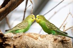 Green parrots kissing on tree, adobe rgb. A couple of parrots kissing on the tree royalty free stock image