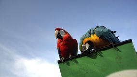 Couple of parrots. Looking at camera stock footage