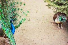 Couple  peacocks Stock Image