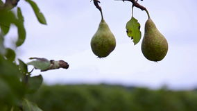 Couple of pears on a tree stock video footage