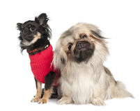 Couple of a Pekingese and a chuihuahua Royalty Free Stock Photo