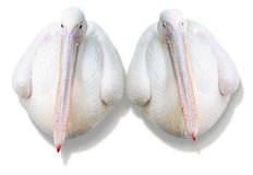 Couple pelicans Royalty Free Stock Images